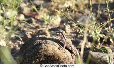 Lizard On Rock Handheld