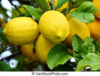 Lemons - Close up of big Lemons on a Lemon tree