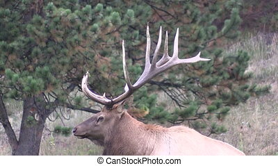 Big Bull Elk - a big bull elk bedded in the rut