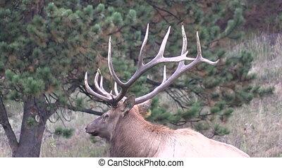 Bull Elk Close Up - a close up of a big bull elk
