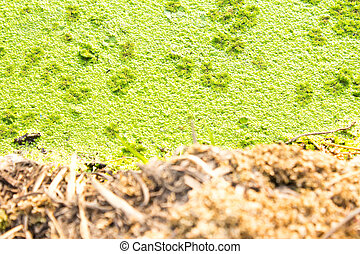 Polluted pond with algal scum. - Polluted pond with algal...