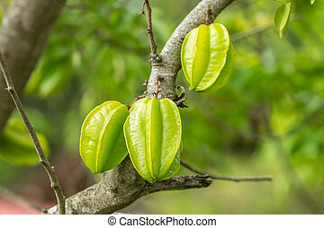 Starfruit on tree in Orchards