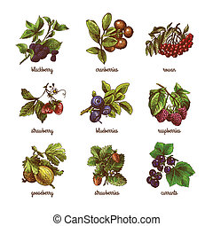 Sketch berries colored set