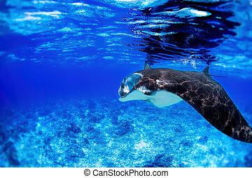 Manta Ray - Manta ray filter feeding in the blue Komodo...