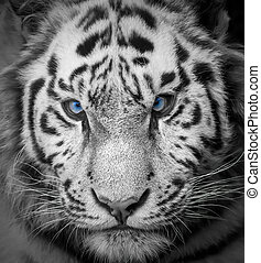 Tiger - Portrait of a wild tiger