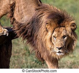 Lion - Portrait of a wild lion