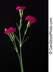 Mini carnations on black background - Close up of miniature...