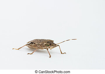 Brown Marmorated stink bug - Close-up of brown Marmorated...