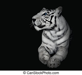 Powerful White Tiger on Black Background - A white tiger...