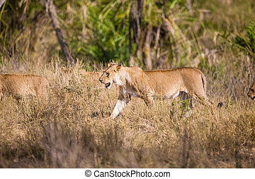 Pride of lions walking in Africa