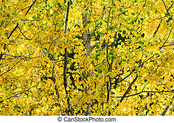 Yellow leaves of autumn from an aspen tree