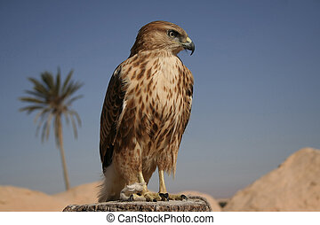 Falcon portrait I - Portrait of falcon in desert, Tunisia