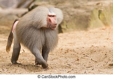 male hamadryas baboon - Male hamadryas baboon is walking on...