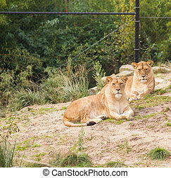 Lions in zoo - Two female lions living in captivity