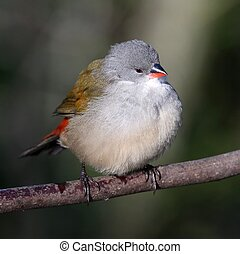 Swee Waxbill Bird - Swee waxbill bird fluffed up and perched...