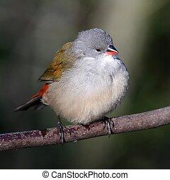Swee Waxbill Bird - Swee waxbill bird fluffed up and perched...