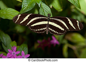 Zebra Longwing - Photo of a Zebra Longwing, Heliconius...