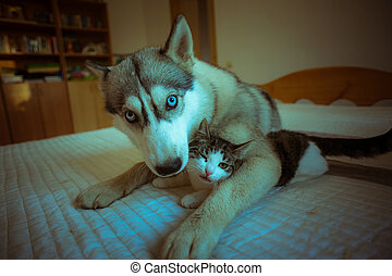 The dog hugs a cat. Cute blue-eyed husky puppy and little...