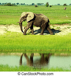 savanna(, afrikanisch,  africa), elefant,  wild,  Botswana, süden