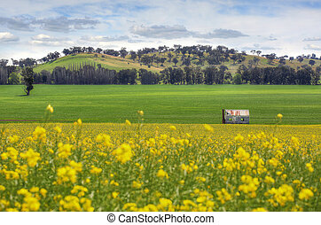 Abandoned farm house in fields of Canola - An abandoned...