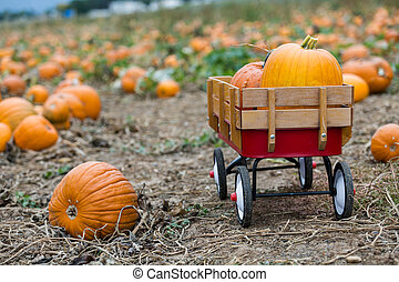 Pumpkin patch - Harvest time on a large pumpkin farm.