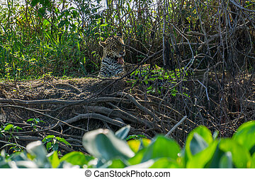 Front view of wild Jaguar licking itself in riverbank,...