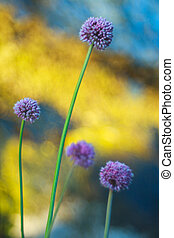 Alium cepa flower - Close up of delicious Alium cepa flower