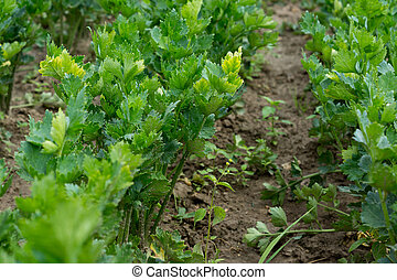 celery - some fresh green celeries growing on the field