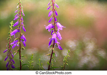 Campanula flowers - View of Campanula flowers in the...