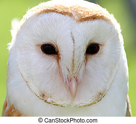 white barn owl with two dark eyes on backlight - big white...