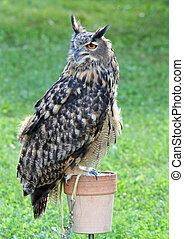 great Owl perched up on support during the demonstration -...