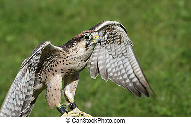 Peregrine Falcon with outstretched wings to fly - young...