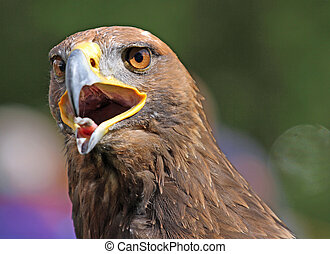 big Golden Eagle with a yellow beak and bright eyes - huge...