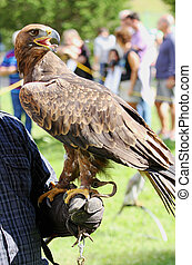 Falconer trainer with Eagle with a beak and bright eyes -...