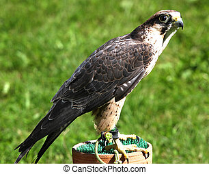 young specimen of Peregrine Falcon on a trestle - young...