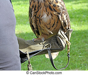 owl perched on glove of Falconer - owl perched on protective...
