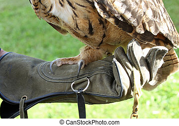 big OWL on a protective glove Falconer trainer of raptors