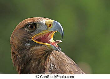 Golden Eagle with a yellow beak and bright eyes - Great...