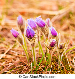 Wild Young Pasqueflower In Early Spring Flowers Pulsatilla...