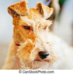 Wire Fox Terrier Close Up Indoor Portrait