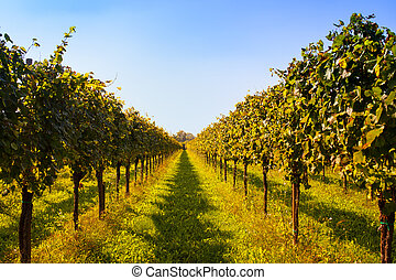 Vineyards - View of Italian vineyards in Friuli Venezia...