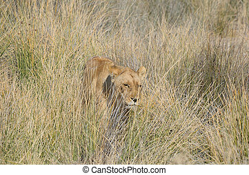 Lion in the grass