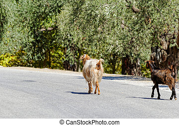 Olive grove - Photo of goats in the olive grove