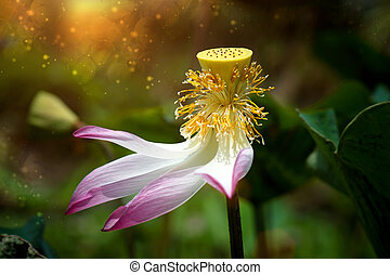 Lotus flower, Thailand. - Pollen of the lotus flower...