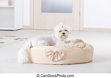 Dog on the dog bed - Cute young Maltese sitting on his bed...