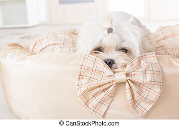 Dog on the dog bed - Cute young Maltese laying on his bed at...