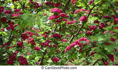 tilt of hawthorn blooms - Tilt up of beautiful hawthorn...