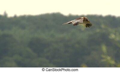 (Eurasian) marsh harrier -Circus aeruginosus
