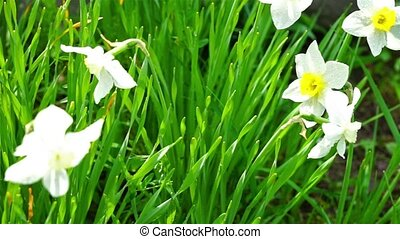 Beautiful white narcissus in grass - Summer flowerbed with...
