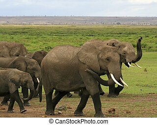 a herd of kenyan elephants in amboseli national park